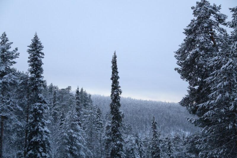 Finnland Winter-Tannen-Wald